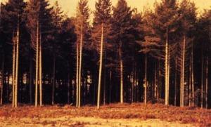 rendleshamforest1