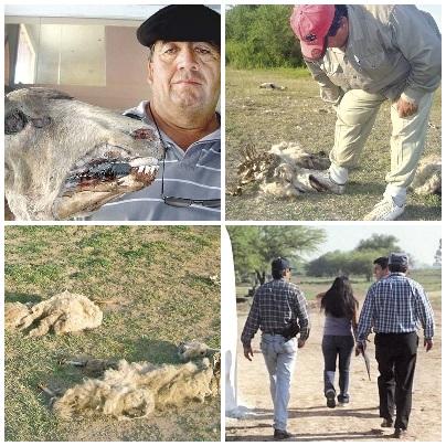 Argentine : de nouvelles mutilations de bétail à Santiago del Estero Argentina-mutes