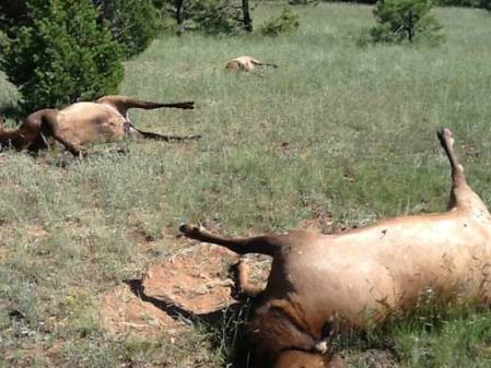 Image of dead elk on August 27, 2013, by  Kerry Mower, NM Dept. of Game and Fish.